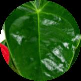 flores de chiltepec