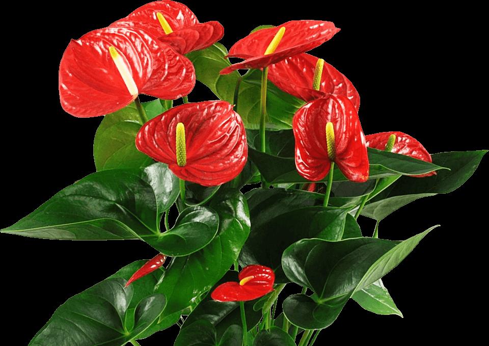 Фото цветы антуриум